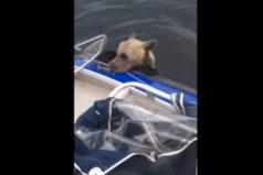 Wędkarze ratują niedźwiadka przed utonięciem. Wideo !