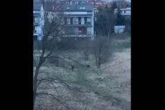 Takie rzeczy tylko w Łodzi, rozjuszony dzik na jednym z osiedli. Wideo.